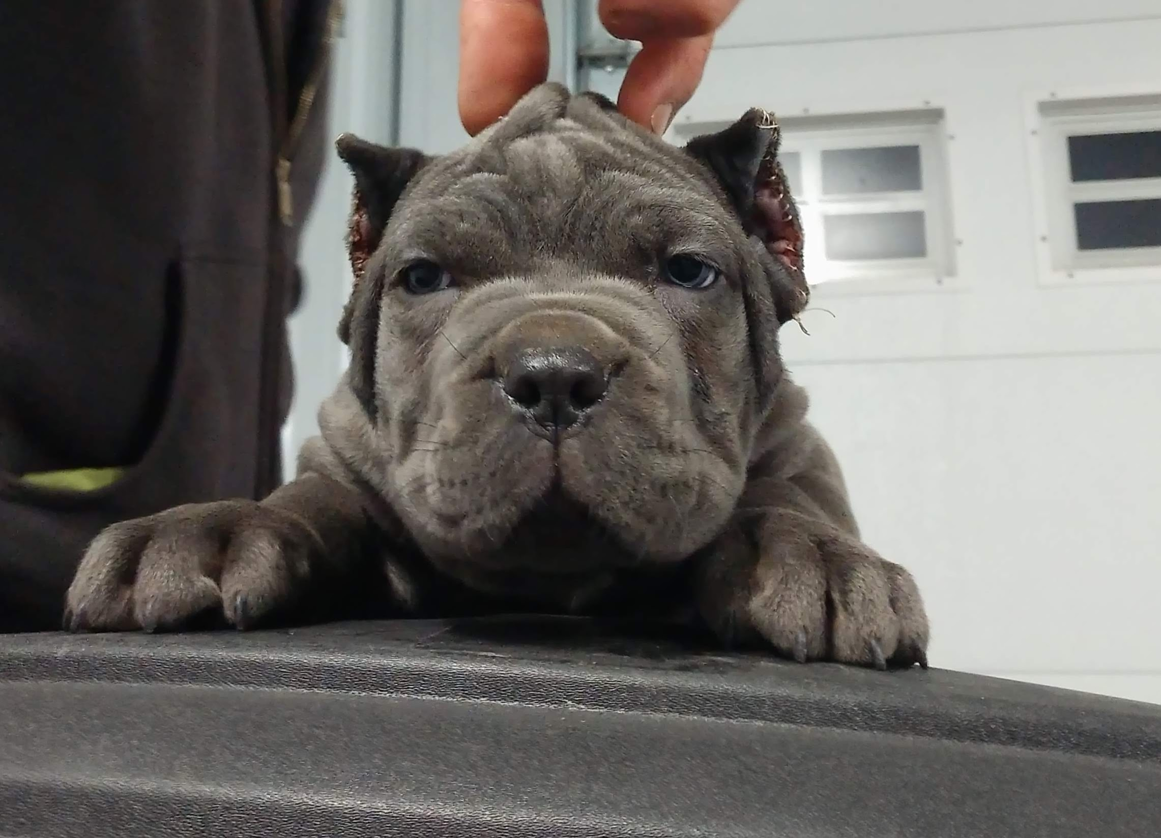 AKC Registered Cane Corso Puppies in MO